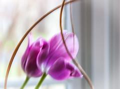 fading away... (marinachi) Tags: smileonsaturday sundaylights tulip flowers spring motionblur