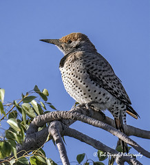 Gilded Flicker (Female) - Explore (bobdinnel) Tags: bird flicker gildedflicker