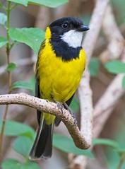 Golden Whistler (christinaport) Tags: goldenwhistler whistler golden nsw australia bird birds wild free