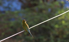 Fly catcher (viveksanand) Tags: flycatcher bird green nature wire