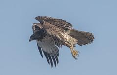 Target sighted (woodwindfarm) Tags: red tailed hawk flight bif