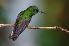 Buff-tailed coronet (Eric Gofreed) Tags: boissonneauaflavescens bufftailedcoronet ecuador hummingbird