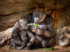A Mother - Daughter Conversation (helenehoffman) Tags: africa conservationstatuscriticallyendangered primate sandiegozoosafaripark gorilla motherandchild motherdaughter animal ape gorillagorillagorilla westernlowland coth alittlebeauty specanimal coth5