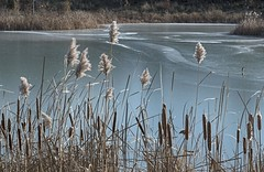 DSC_7831 (PaulPagéPhotos) Tags: frozen ice ponds reeds autumn cattail rockcliffe ottawa nikond850 explored