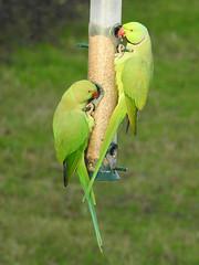 Parakeet (davidhampton1066) Tags: lwt lavellswetlandtrust leafarmgravelpit reading berkshire nature bird animal nikon nikonp900 nikkor parakeet