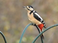 Great Spotted Woodpecker (Explored) (davidhampton1066) Tags: lwt lavellswetlandtrust leafarmgravelpit reading berkshire nature bird animal nikon nikonp900 nikkor woodpecker great spotted