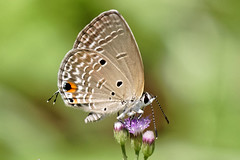 Cycad Blue, Plains Cupid (scubahenlik) Tags: butterfly lycaenidae polyommatinae blue insect nature baanmaka kaengkrachan thailand