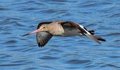 Godwit F00907 Burton Mere RSPB D210bob DSC_8236 (D210bob) Tags: godwit f00907 burtonmererspb d210bob dsc8236 nikond7200 birdphotography birdphotos naturephotography naturephotos nikon wildlifephotography cheshire nikon200500f56 rspb