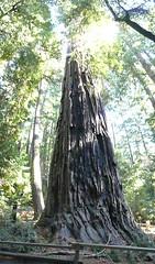 Nov2019-BigBasinCamping-P1040624 (aaron_anderer) Tags: bigbasin california state park camping fall fun chilly redwoods
