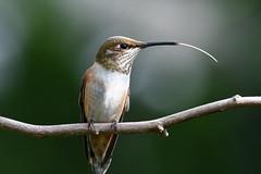 meep meep  👅 (Honey Buster) Tags: hummingbird annas tongue