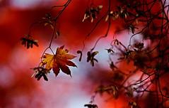 sapporo 741 (kaifudo) Tags: 北海道 札幌 北海道知事公館 紅葉 秋 sapporo hokkaido japan autumn nature autumnleaves nikon d5 nikkor afs 105mmf14eed 105mm