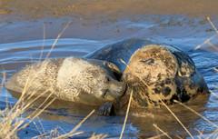 Grey Seals, Donna Nook (robin denton) Tags: greyseal seal donnanook lincolnshirewildlifetrust wildlifetrust nature wildlife animal eastcoast coast seashore shore dunes halichoerusgrypus