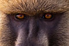 "Through the Eyes of the Wild  3I0808 (Dr DAD (Daniel A D'Auria MD)) Tags: baboon ape mammal wildlife animal nature ""wildlifephotography"" ""naturephotography"" africa kenya amboseli ""amboselinationalpark"" ""children'swildlifebooksbydanielad'auriamd"" ""danielad'auriamd""""danield'auria"" ""fineartphotography"" ""fineart"" artist photographer author november2019"""