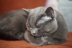 Antonio (Сonstantine) Tags: animals antonio catslife cat catsoftheworld catscatscats meowmeow meow meowbox british britishcats photo pic sleep