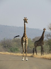Let's go and check out the new visitor's at the park  ( giraffe  /  kameelperd ) (Pixi2011) Tags: wildlife wildlifeafrica krugernationalpark southafrica africa wildanimals animals nature