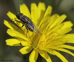 Stomorhina lunata ♀ | Locust Fly (Fernando Delgado) Tags: arthropoda artrópode diptera inseto mosca rhiniidae stomorhinalunata insect insecto macro calliphoridae locustfly fêmea female macrophoto macrodreams díptero