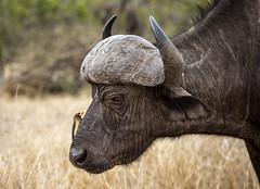 Buff in profile (Sheldrickfalls) Tags: buffalo africanbuffalo buffel yellowbilledoxpecker oxpecker buphagusafricanus satara krugernationalpark kruger krugerpark mpumalanga southafrica