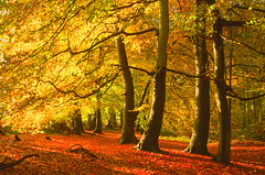 Happy trees, Sulham, Berkshire, England (Oswald Bertram) Tags: berkshiredowns northwessexdowns northwessexdownsaonb westberkshire countryside autumn autumncolours fall fallcolors automne couleursdautomne otoño coloresdelotoño herbst herbstfarben autunno coloridautunno arbres árboles alberi baüme beeches beechtrees hayas hêtres buchen faggi wood woodland forest wald forêt bosco bosque landscape landschaft paisaje paysage paesaggio walking hiking wandern randonnée excursionismo escursione light licht luz luce lumière outdoors outside footpath rural greatbritain uk