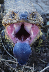 Say 'Aaaah' (Queen of the Swarm) Tags: lizard reptile australianlizard macro portrait sleepylizard shinglebackskink pineconelizard tiliquarugosa threatdisplay animalbehaviour animaldefence