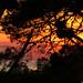 20170708_01 Sunrise through pine | Vis Island, Croatia