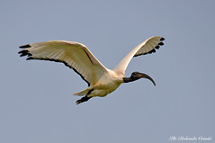 Ibis _004 (Rolando CRINITI) Tags: ibis uccelli uccello birds ornitologia avifauna mincio curtatone natura