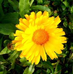 la dernière fleur de notre jardin (jeanpierrefrey) Tags: fleur jardin obersteinbach alsacedunord