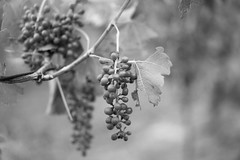 Ripening (OzzRod) Tags: sony a7rii sonyzeissfe55mmf18za grapes vine vineyard closeup bokeh monochrome blackandwhite pokolbin huntervalley australia