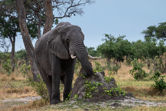 Afrikanischer Elefant / African Bush Elephant (brainstorm1984) Tags: africanbushelephant africansavannaelephant afrikanischerelefant big5 bigfive botswana chobe chobenationalpark desertdeltasafaris elangeniafricanadventures elefant elephant elephantidae gamedrive loxodontaafricana safari savagekingdom savute savutegamereserve savutesafarilodge savuti savutichannel savutigamereserve savutimarsh wildlife