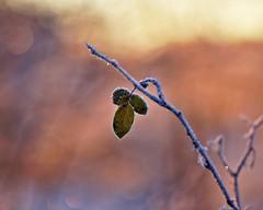 Frost(r)ed (Stefano Rugolo) Tags: stefanorugolo pentax k5 pentaxk5 kmount smcpentaxm100mmf28 frost leaves red bokeh sweden