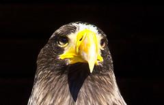 Aufmerksam / Attentive (schreibtnix on'n off) Tags: tiere animals vögel birds birdsofprey adler eagle haliaeetusleucocephalus weiskopfseeadler baldeagle aufmerksam attentive olympuse5 schreibtnix