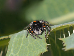 Jumping Spider --- Philaeus chrysops  ( male ) (creaturesnapper) Tags: monfraguenationalpark spain europe salticidae jumpingspiders spiders araneae philaeuschrysops