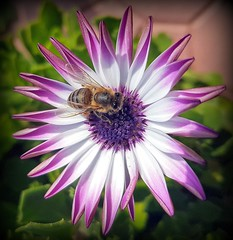 Beauties (Ioannis Ks) Tags: bee osteospermum flower plant garden insect nature crete ngc
