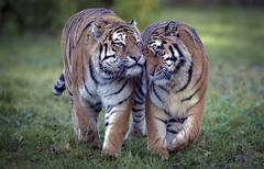 Bump (Jonnyfez) Tags: vladimai sayan amur siberian tiger head bump together yorkshire wildlife park jonnyfez