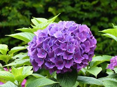 Another Hydrangea (Marit Buelens) Tags: eu uk britain wales cymru snowdonia garden estate manor green lilac flower plant hortensia hydrangea plasbrondawn llanfrothen