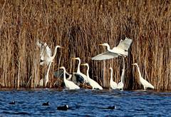 Egrets (Patricia Buddelflink) Tags: bird egret lake nature winter