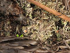 Cladonia floerkeana (reuben.lim) Tags: cladonia floerkeana cladoniafloerkeana newcaledonia cladoniaceae
