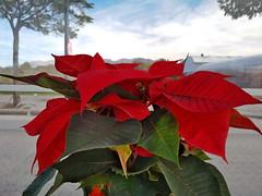 ¿Tienes ya tu Flor de Pascua? (Micheo) Tags: spain maceta pot flordepascua posenttia pascuero navidad rojo red euphorbiapulcherrima enlaparadadelmetro vivero posentia flordenavidad