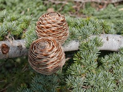 Pine cones on the Lebanon Mountain Trail