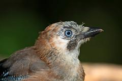 Jay (drbut) Tags: jay garrulusglandarius portrait avian bird birds farmland trees crows wildlife nature