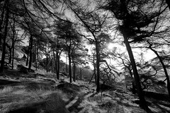 PineWood (Tony Tooth) Tags: nikon d7100 sigma 1020mm wood woodland forest pines trees pinetrees theroaches upperhulme staffs staffordshire staffordshiremoorlands bw blackandwhite monochrome