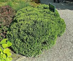 Thuja occidentalis ´Mecki´; Cupressaceae (1) (pflanzenflüsterer) Tags: cupressaceae thuja thujaoccidentalis hannover berggarten herrenhausen konifere kugel strauch immergrün