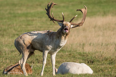 I need a cigarette! 502_2295.jpg (Mobile Lynn) Tags: nature fallowdeer deer landmammals damadama fauna mammal mammals wildlife richmond england unitedkingdom coth specanimal