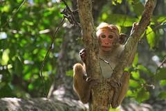 Curiosity (juanita nicholson) Tags: monkey macaque toque wild nature wildlife outdoors srilanka closeup stare