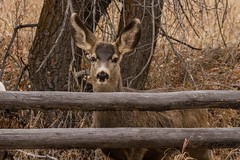 IMG_0230 mule deer doe (starc283) Tags: deer doe starc283 mountains muledeer nature naturesfinest naturewatcher flickr flicker forest flora