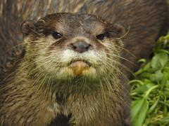 Otter (blue33hibiscus) Tags: dartmoorottersbuckfastbutterflies buckfastleigh devon mammal otter