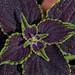 Brown-Purple Coleus Macro Sunlight