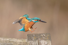 Kingfisher (Linda Martin Photography) Tags: dorset male wildlife nature bird northbourne riverstour kingfisher alcedoatthis coth coth5 naturethroughthelens ngc npc
