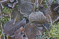LeafLitter (Tony Tooth) Tags: nikon d7100 sigma 70mm leaves foliage cold frosty frost winter stilllife ecton staffs staffordshire
