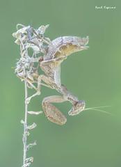 Ameles (Raul Espino) Tags: 2019 canon100mml canon6dmarkii heliconfbtube macro macrofotografia natural naturaleza sevilla ameles insectos
