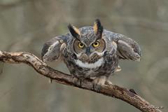 Whoo's in that truck? (Earl Reinink) Tags: owl greathornedowl bird ram woods forest trees animal outdoors nature earlreinink ttiddiaaea